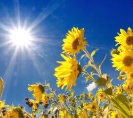 1. Zonnebloemen.fotolia.jpg