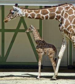 Giraffenbeen als inspiratie voor nieuw drukverband